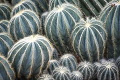 Plantas carnudas feitas sob medida diferentes, cacto com Pricklies fotografia de stock royalty free