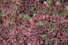 Plantas carnudas híbridas foto de stock royalty free