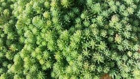 Plantas carnudas minúsculas Foto de Stock Royalty Free