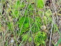 Plantas carnudas minúsculas selvagens imagens de stock