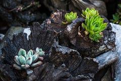 Plantas carnudas na madeira Fotos de Stock Royalty Free