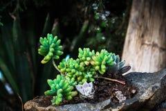 Plantas carnudas na rocha Fotos de Stock
