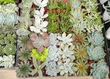 Plantas carnudas ou cactos Fotografia de Stock