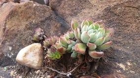 Plantas carnudas pequenas distorcido Imagem de Stock Royalty Free