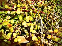 Plantas carnudas saturadas Foto de Stock