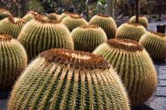 Plantas circulares do cacto em Lanzarote, Ilhas Canárias, Espanha Fotografia de Stock