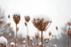 Plantas cobertas pela neve Imagens de Stock Royalty Free
