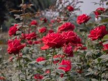 Plantas color de rosa rojas con las flores imagen de archivo libre de regalías