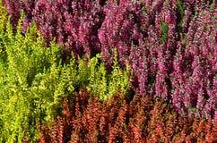 Plantas coloridas de Erica Fotografía de archivo
