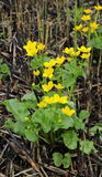 Plantas com cores amarelas brilhantes. Palustris L. de ?altha. Imagem de Stock