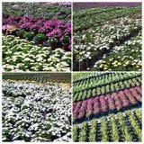 Plantas comerciais que crescem na estufa Imagem de Stock