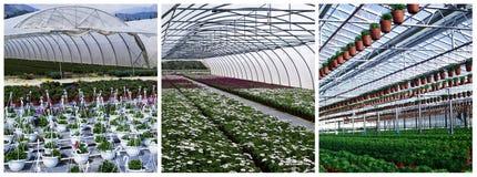 Plantas comerciais que crescem na estufa Fotos de Stock