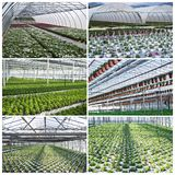 Plantas comerciais que crescem na estufa Fotografia de Stock Royalty Free