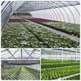 Plantas comerciales que crecen en invernadero Foto de archivo libre de regalías