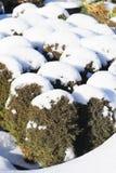 Plantas coníferas en el invierno Fotografía de archivo