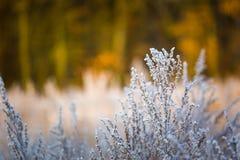Plantas con la escarcha blanca fotografía de archivo libre de regalías