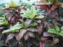 Plantas con las hojas multicoloras grandes, croton, Codyium fotografía de archivo