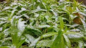 Plantas congeladas com foco afiado e textura da neve pontudo imagem de stock