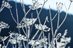 Plantas congeladas del umbel fotografía de archivo