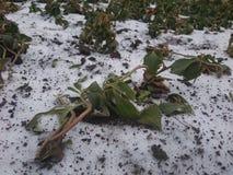 Plantas congeladas na neve Fotos de Stock