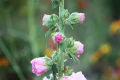 Plantas cor-de-rosa da malva Imagem de Stock