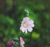 Plantas cor-de-rosa da malva Imagens de Stock Royalty Free