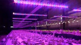 Plantas crecientes por aquaponics debajo de las lámparas especiales metrajes