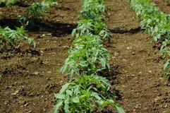 Plantas crescentes Foto de Stock Royalty Free