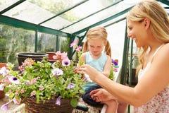 Plantas crescentes da mãe e da filha na estufa Fotos de Stock