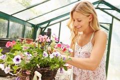 Plantas crescentes da mulher na estufa Fotos de Stock