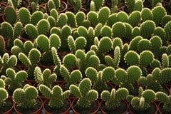 Plantas crescentes do cacto na estufa fotos de stock royalty free