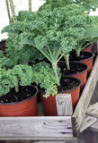 Plantas crescentes home da couve Imagens de Stock Royalty Free