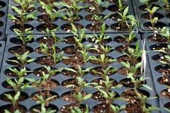 Plantas crescidas recipiente da exploração agrícola de Amish fotos de stock royalty free