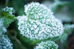 Plantas cubiertas con nieve Imagen de archivo libre de regalías