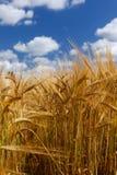 Plantas cultivadas altas de la cebada del trigo con el cielo azul foto de archivo