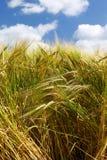 Plantas cultivadas altas de la cebada del trigo con el cielo azul fotografía de archivo libre de regalías