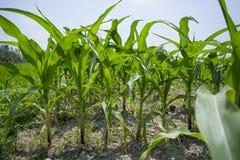 Plantas cultivadas verdes del maíz, Manikgonj, Bangladesh Foto de archivo libre de regalías