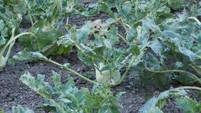 Plantas dañadas en campo Brassica oleracea Primer de la planta creciente del colinabo en campo agrícola almacen de video