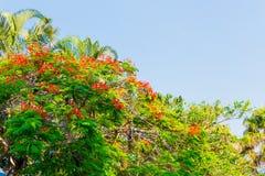 Plantas da árvore de chama com cores vibrantes e flores no clima subtropical Foto de Stock Royalty Free