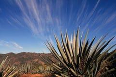 Plantas da agave Fotografia de Stock Royalty Free