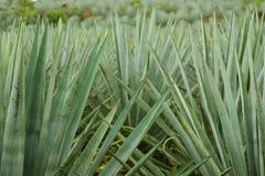 Plantas da agave Fotos de Stock Royalty Free