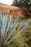 Plantas da agave imagens de stock