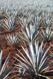 Plantas da agave Fotografia de Stock