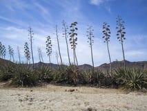 Plantas da agave em AlmerÃa, Espanha Foto de Stock Royalty Free