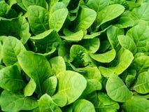 Plantas da alface Imagens de Stock