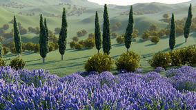 Plantas da alfazema em um campo no por do sol filme