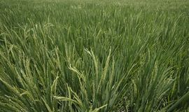 Plantas da almofada em campos verdes do arroz na ilha de Bali, Indonésia, Ásia Tenggara Isolado em conceitos verdes ambientais e  fotos de stock royalty free