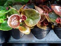 Plantas da begónia para a venda Imagem de Stock
