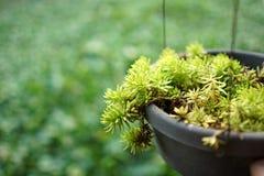 Plantas da bola do limão do rupestre de Sedum no potenciômetro plástico preto Fotos de Stock