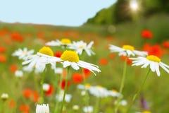 Plantas da camomila no prado sobre o por do sol Fotos de Stock